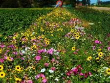 Deze zomer volop bloemen op Voorne-Putten: dubbel zo veel bloeiende akkerranden ingezaaid