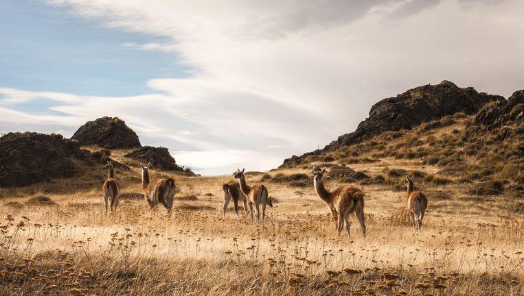 Wilde lama's in de Chacabuco-vallei in Chili. Beeld Hilde Harshagen
