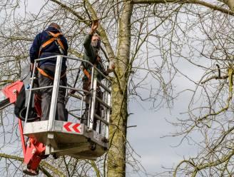 """Gemeente plant maretak op site Hof ten Dijke 'om plant duwtje in de rug te geven': """"Plant is zeldzaam in onze regio, daar willen we verandering in brengen"""""""