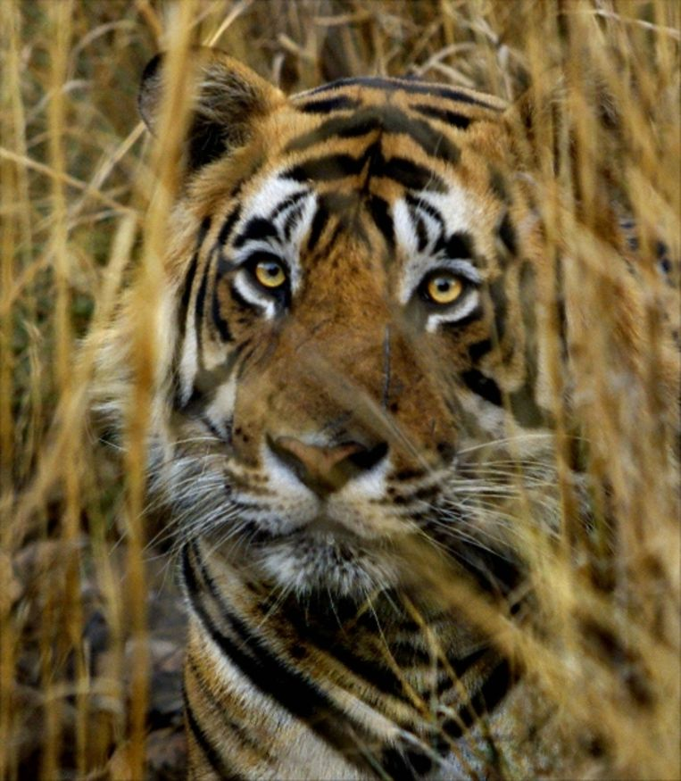 FILE - In this March 23, 2000 file photo, an Indian tiger looks on from a camouflaged cover of strawgrass in Ranthambhore National Park near Rajasthan, India. Global wildlife experts and political leaders from 13 countries on Sunday open a meeting aimed at finalizing complex and costly plans to revive the world's tiger population, which has plummeted so sharply that it may be near the point of no return.(AP Photo/J. Scott Applewhite, File) (AP) Beeld AP