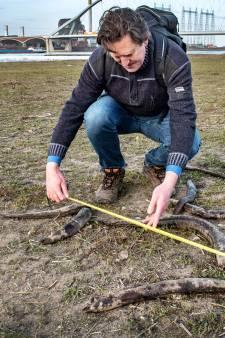 Honderden geknakte palingen liggen dood in de uiterwaarden bij Nijmegen, vermorzeld door de waterkrachtcentrales