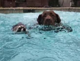 VIDEO: Wasbeer en hond zijn beste vrienden (en gaan graag samen zwemmen)