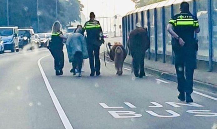 Een opmerkelijk tafereel in Eindhoven woensdagochtend. De politie moest een groep paarden tegenhouden op hun weg naar het centrum van de stad.