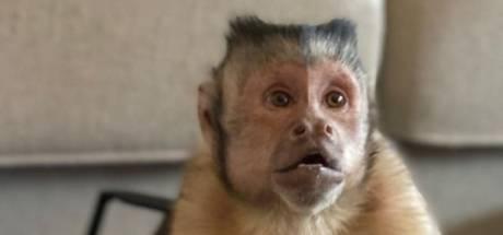Miljoenen TikTok-fans treuren om plotselinge dood aapje George