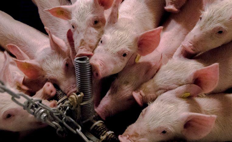 Varkens knagen aan plastic buizen en aan een ketting. Varkenshouders zijn verplicht om voor voldoende afleidingsmateriaal te zorgen in varkensstallen.  Beeld ANP