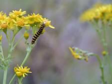 Natuur en Milieu Wijchen: 'Boer moet jakobskruiskruid maar met de hand verwijderen'