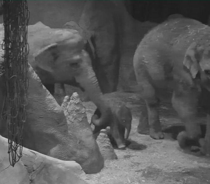 Dinsdagnacht om 00.03 uur is olifant Bangka weer moeder geworden. Dit beeld is gemaakt met de webcam die in het verblijf hangt.