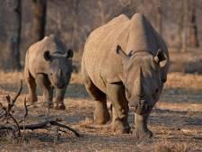 Des rhinocéros sud-africains réfugiés au Botswana