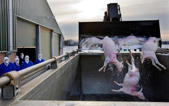 Medewerkers van LNV voeren maandag de geruimde geiten af uit de stal van veehouder Henk van Loon in Vinkel.