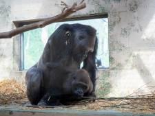 Gorillababy Apenheul is zelfs nieuws in Taiwan. En de volgende is al in de maak...