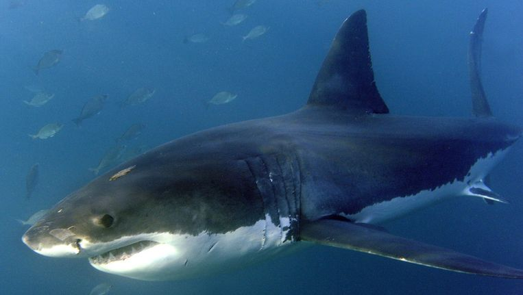 Een grote witte haai Beeld EPA