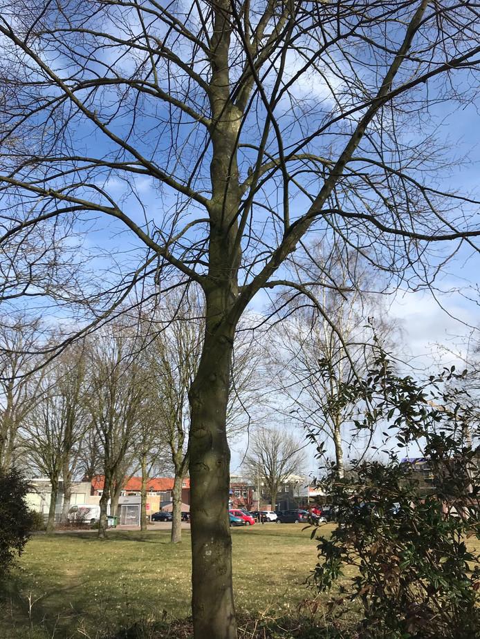 Verkenners uit Luttenberg hebben een inspectiereis gemaakt naar Nijverdal om te bekijken hoe deze koningslinde naar hun dorp getransporteerd kan worden. Daar wordt hij op 21 maart geplant als herinneringsboom ter gelegenheid van het 700-jarig bestaan van het dorp.