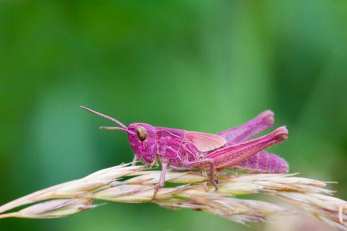 Pink Grasshopper perched on a grass stem closeup roze sprinkhaan
