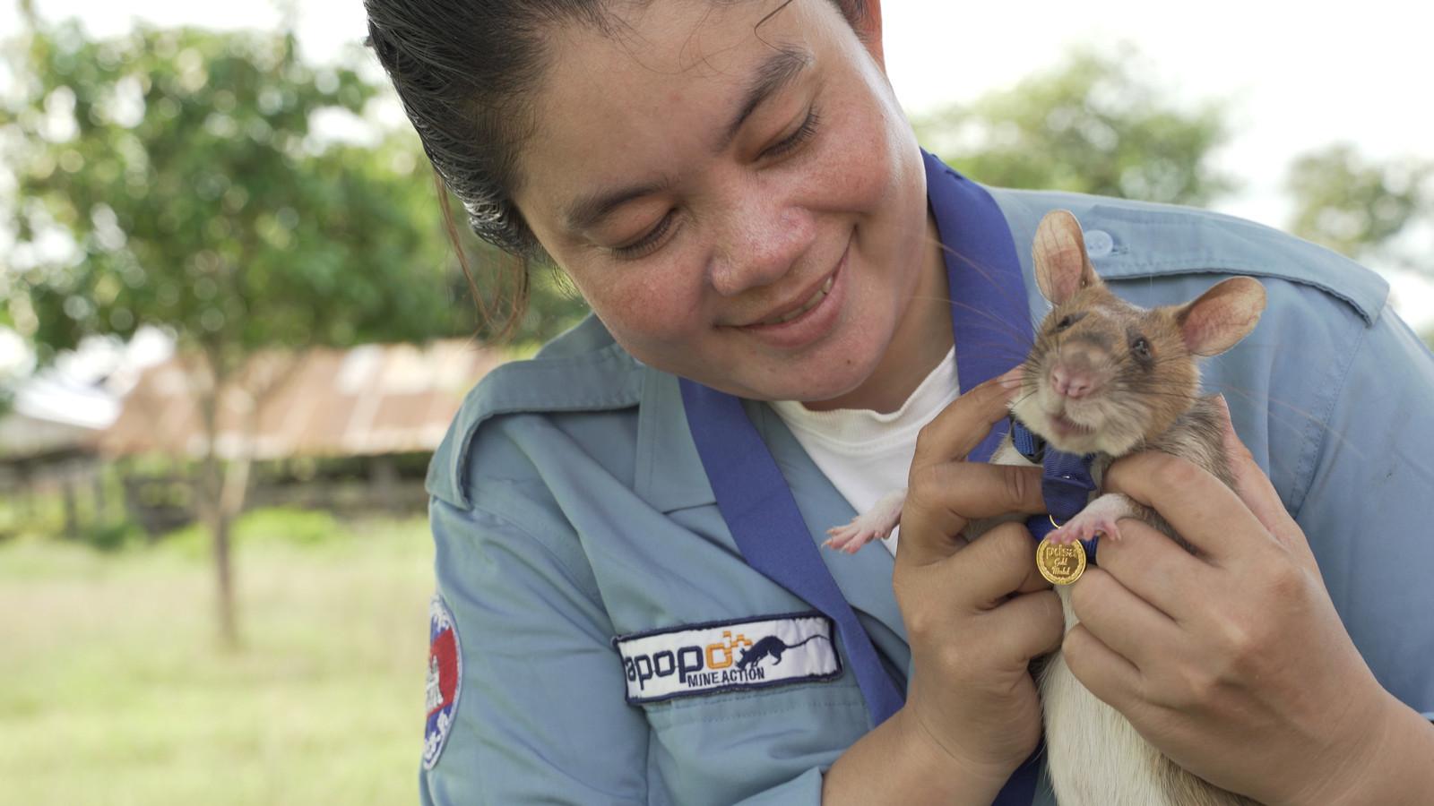 Magawa is opgegroeid en getraind bij de Belgische hulporganisatie APOPO. Zij zijn maar wat trots op hun snuffelkoning.