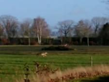 Mogelijk wolf in De Mortel gesignaleerd; 'Mijn vriend riep: dat is een grote hond'