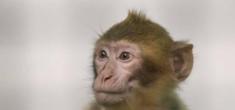 Aapje dat met luier aan in Antwerpse boom zat heeft nieuw thuis in dierentuin Rhenen
