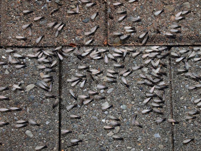 De mieren zijn echte brokkenpiloten in de lucht.