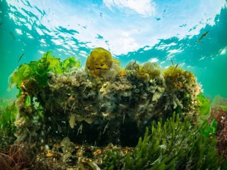 Velden vol zeegras en rifjes met oesters en krukels; Het eerste tiny sea forest verrijst in de Grevelingen