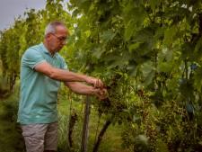 Wijnboeren hunkeren naar meer zon, magere oogst dreigt: 'Over zes, zeven weken wordt het spannend'