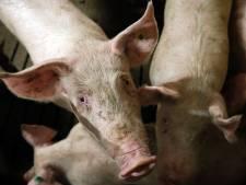 'Leefbaarheid Molenakkers' strijdt tegen stal in Moergestel met 2000 varkens