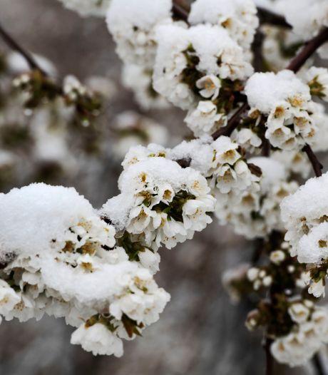Bloesem onder een laag sneeuw: de lente begint wit dit jaar