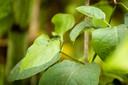 Het toepassen van bladvlooien is een van de experimenten om de duizendknoop aan te pakken die inheemse soorten verdringt.