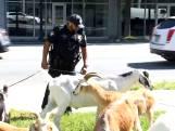 Atlanta opgeschrikt door rondzwervende geiten