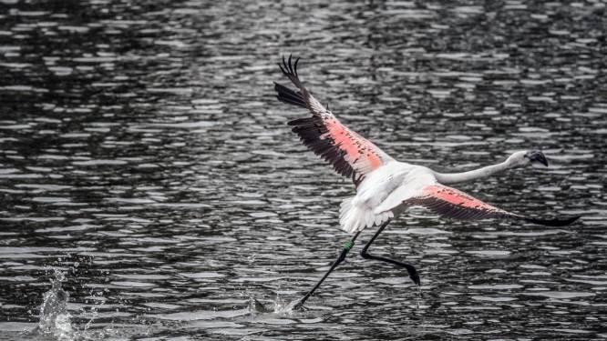 """Dierenverzorgers Bellewaerde proberen vertrouwen te winnen van ontsnapte flamingo: """"Hopelijk is hij snel terug bij ons"""""""