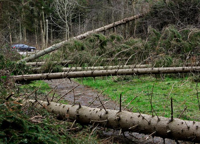 Foto van het Kuinderbos in Emmeloord. Ruim 1200 naaldbomen waaiden daar gisteren om tijdens de zware storm. Veel van de wandelpaden zijn onbegaanbaar.