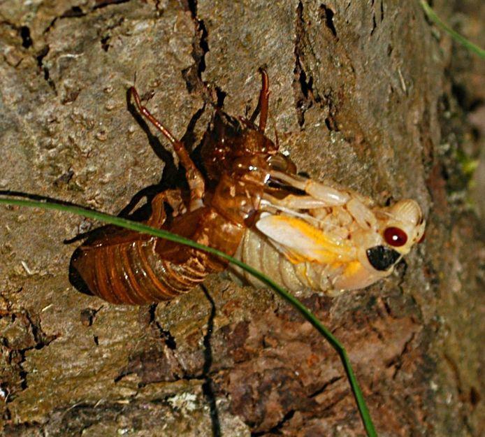 Een cicade kruipt uit zijn larvenhuid.