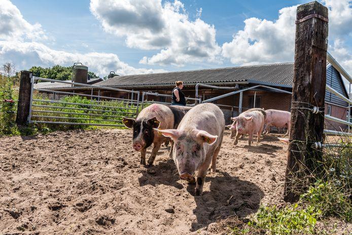 Het boerenbedrijf van de familie Brandsen bestaat uit 55 melkkoeien, 55 biologische zeugen en 500 biologische vleesvarkens.