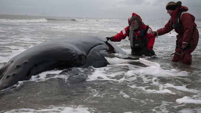 Een medewerker van het zeehondencentrum Pieterburen (L) en biologe Laura Lauta van Aysma bij de overleden bultrug Johannes op De Razende Bol