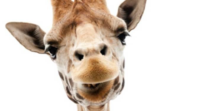 Denen in actie tegen executie kerngezonde giraffe