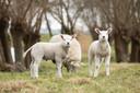 Dé redders in nood voor het militair domein in Brecht: schapen.