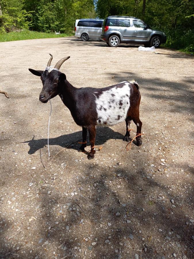 De gewonde geit die woensdag op een parkeerplaats in Dronten werd gevonden.
