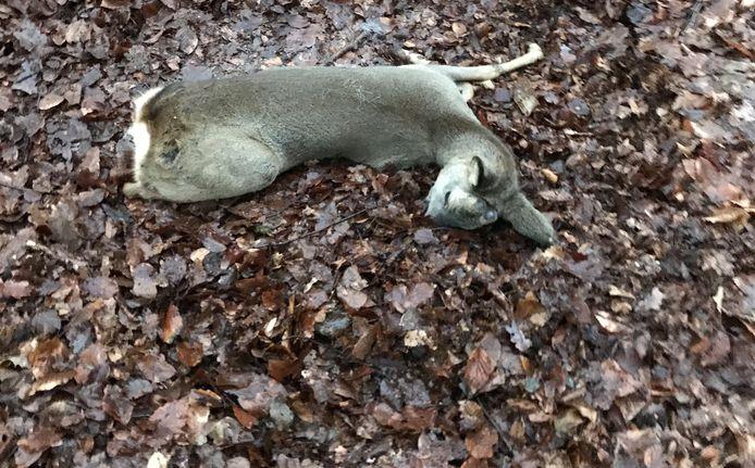 Een ree die in Berg en Dal een dwarslaesie opliep toen hij op een hek knalde tijdens een achtervolging door een loslopende hond. De ree slaagde erin onder het hek door te kruipen. Aan de sporen in de bladeren is zijn doodstrijd te zien. Jachtopziener Marcel Kamps verloste het dier uit zijn lijden.