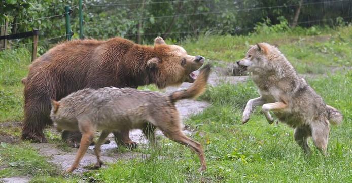 Spelende beer en wolven in Dierenrijk (archieffoto ter illustratie).