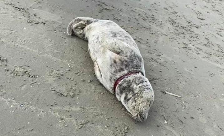 Het zeehondje, met nog de typische pels van een pup, werd met een stuk visnet uit nylon aangetroffen op het Oostduinkerkse strand.