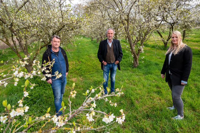Annewil Hooijer samen met Marcel van Silfhout (links) en André Polm in hun pruimenboomgaard die nu volop in bloei staat. Foto: Gerard Burgers.