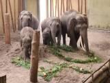 Feest in Dierenrijk: 40-jarige olifant verrast met traktatie