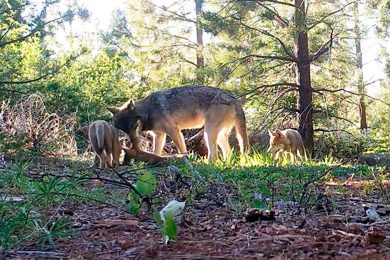 Een grijze wolf in Lassen County in het noorden van Californië. Beeld AP