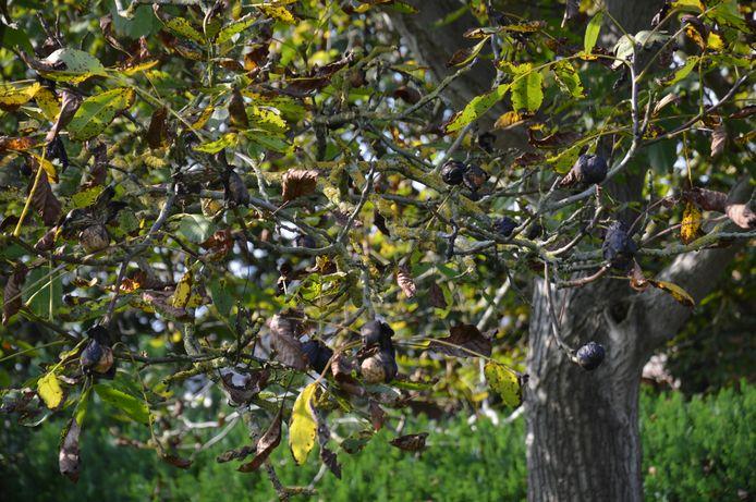 Je kan je eigen notenboom 'kweken' met behulp van één noot.