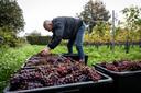 Op wijndomein Zurrick worden de druiven geoogst.