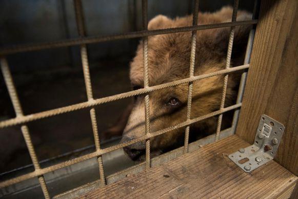 Een van de twee verwaarloosde beren in haar nieuwe verblijf in De Zonnegloed.