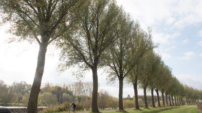 50 oude wilgen langs Boven-Schelde in Eine en Zingem moeten weg