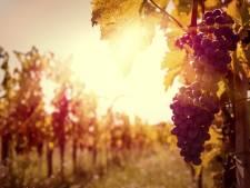 Steeds meer wijn van Brabantse bodem, zeer waarschijnlijk goede oogst dit jaar