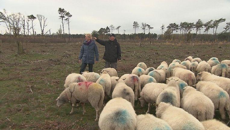 Kempische heideschapen moeten voorkomen dat de Strabrechtse Heide weer gaat verbossen. In Vroege Vogels bezoekt presentator Bentveld schaapsherder Kees Kromhout. Beeld VARA