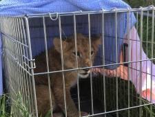 Gevonden leeuwenwelp in Tienhoven maakt het goed in de opvang