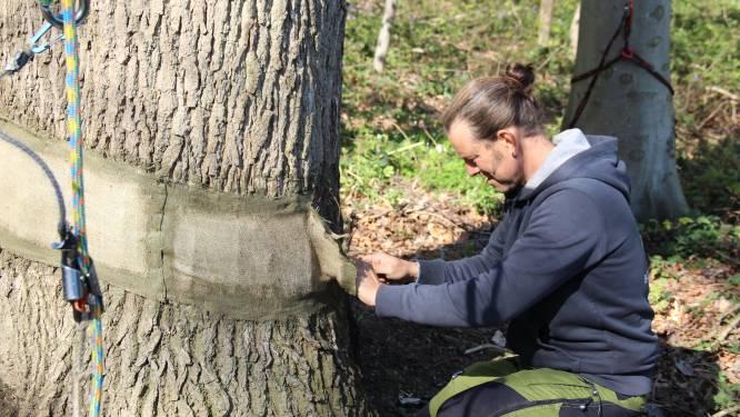 """Zwaar beschadigde bomen in natuurgebiedje zijn nog in leven: """"De eik heeft het wat moeilijk, maar is nog groeikrachtig"""""""