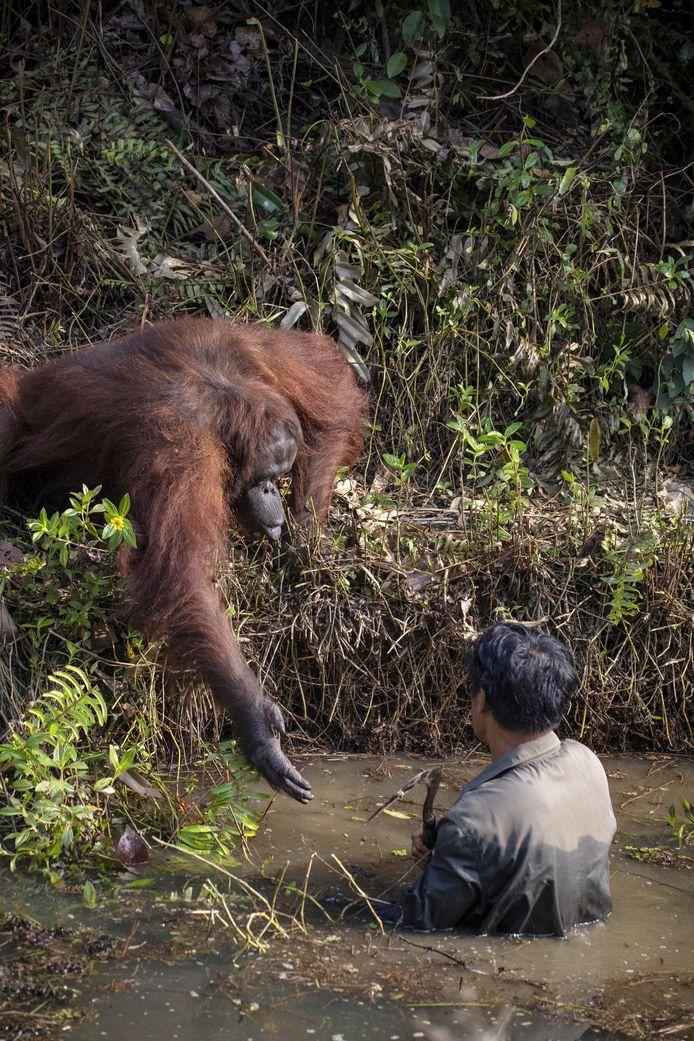 De orang-oetan reikt de man in het water de hand. De natuurbeschermer was  bezig met het zoeken naar slangen als deel van zijn werk om de apen op Borneo te beschermen.